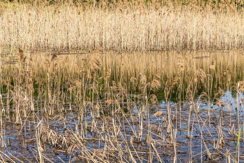 L'eau, marécages, herbe sèche et roseaux photo stock