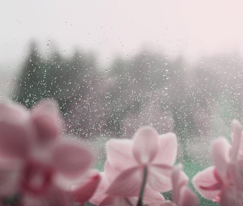 L'eau naturelle se laisse tomber sur le verre de fenêtre avec le fond vert et avec la fleur photos stock