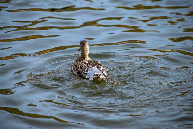 L'eau outre de l'des canards desserrent Le canard femelle de canard a apprêté d'un piqué avec de l'eau lac coulant outre des plum image libre de droits