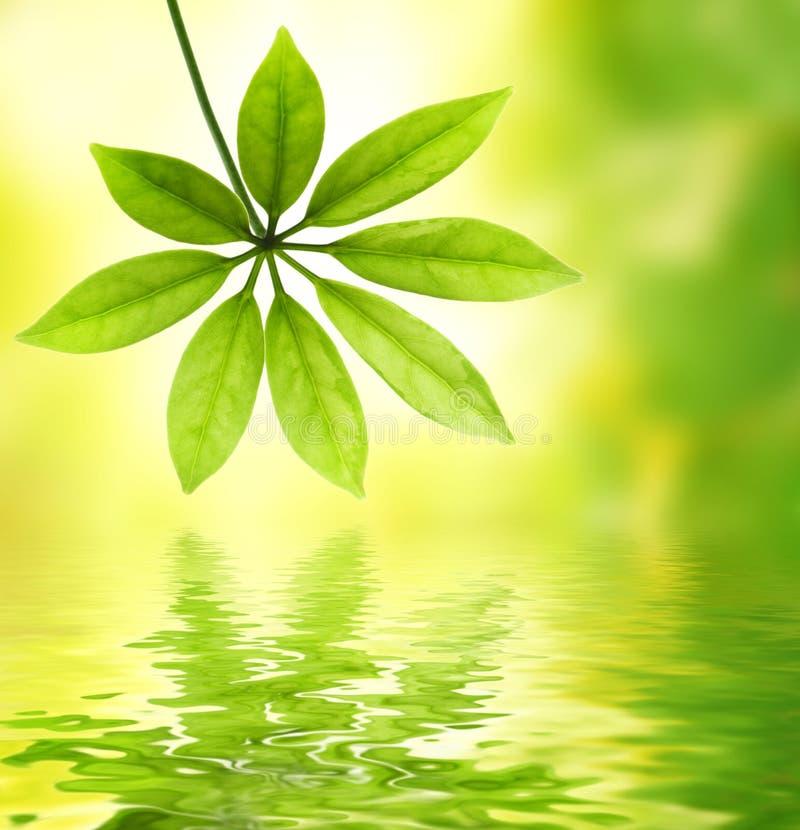 l'eau reflétée par lame verte photos libres de droits