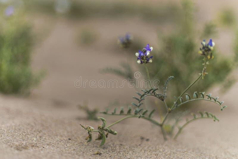 L'eau vient au désert le plus sec au monde : Fleurs de floraison d'Atacama photos libres de droits