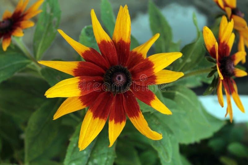 L'echinacea fiorisce nel letto, nel giallo e nel rosso di fiore fotografia stock