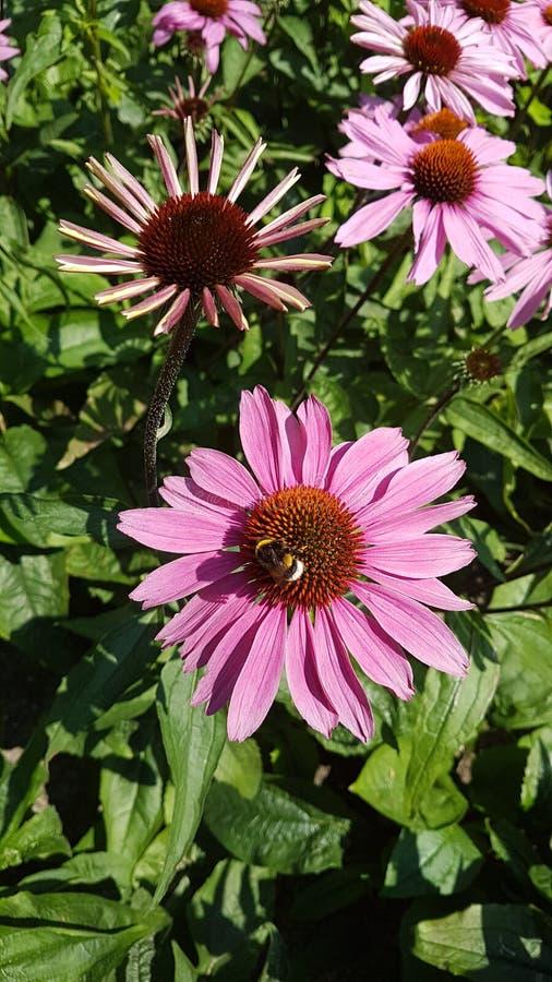 L'Echinacea Purpurea ou le coneflower pourpre oriental dans le jardin avec les fleurs et le sort pourpres d'insectes aiment des a images libres de droits