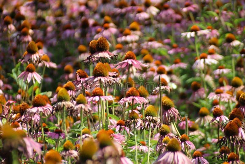 L'Echinacea Purpurea ou le coneflower pourpre oriental dans le jardin avec les fleurs et le sort pourpres d'insectes aiment des a images stock