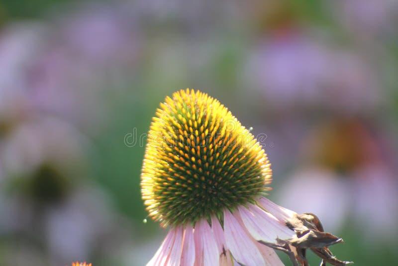 L'Echinacea Purpurea ou le coneflower pourpre oriental dans le jardin avec les fleurs et le sort pourpres d'insectes aiment des a image stock
