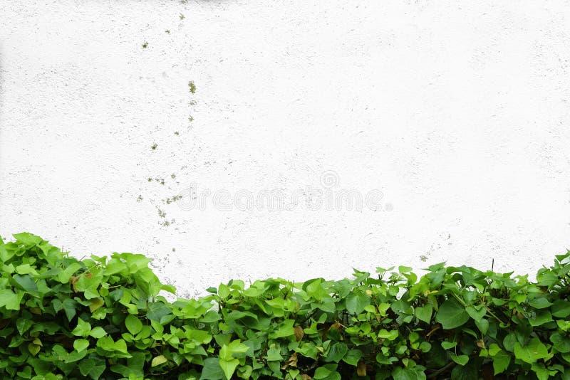 L'edera lascia contro una parete bianca in un giardino Sfondo naturale e spazio vuoto della copia immagine stock libera da diritti