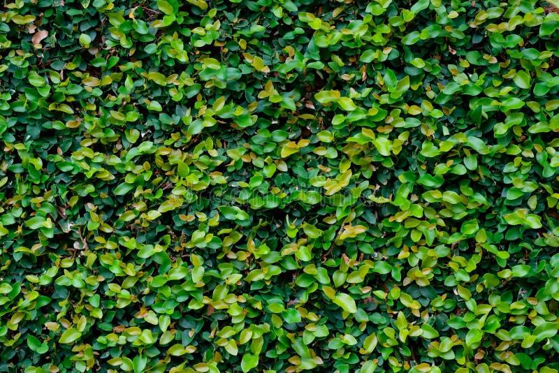L'edera verde ha coperto la parete come immagine di sfondo fotografia stock libera da diritti