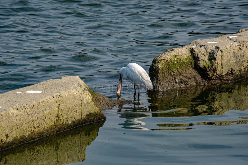 L'egretta è difficile da inghiottire il grande pesce immagine stock libera da diritti