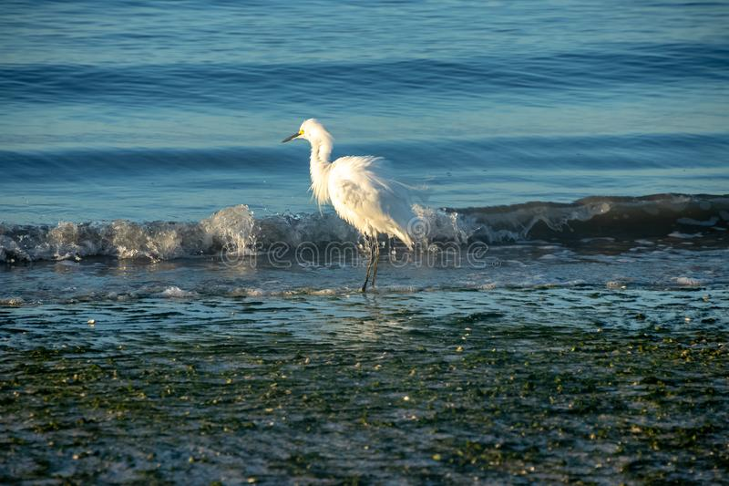 L'egretta bianca lattea scuote le sue piume mentre pesca nel golfo di fotografia stock libera da diritti