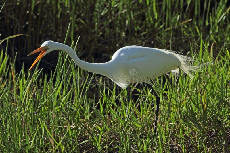 L'egretta che squawking come insegue la preda nell'erba, terreni paludosi immagine stock libera da diritti