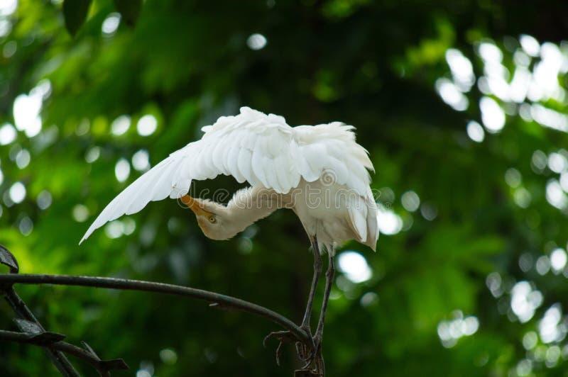 L'egretta Garzetta dell'egretta ha spanto le ali che puliscono la piuma al ramo fotografia stock