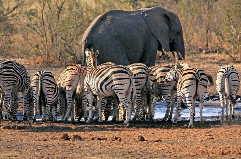 Elefante e zebra a waterhole fotografia stock libera da diritti
