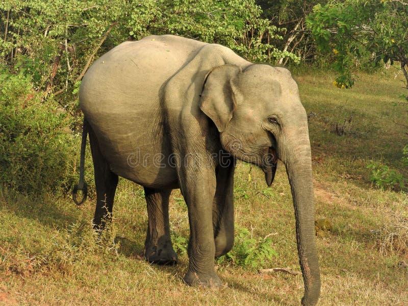 L'elefante del bambino cammina nella giungla verde un chiaro giorno soleggiato nel parco nazionale di Yala nello Sri Lanka fotografia stock libera da diritti