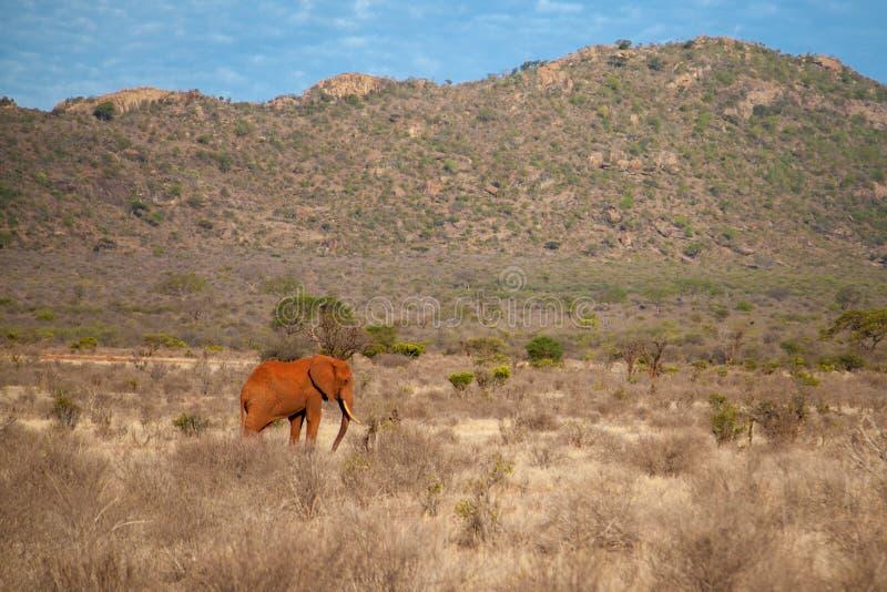 L'elefante sta camminando fotografia stock