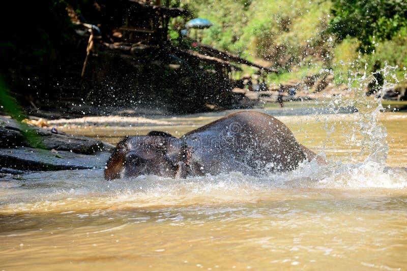 L'elefante tailandese era prende un bagno con il driver dell'elefante del mahout, il custode nel campo dell'elefante di Maesa, Ch immagine stock libera da diritti
