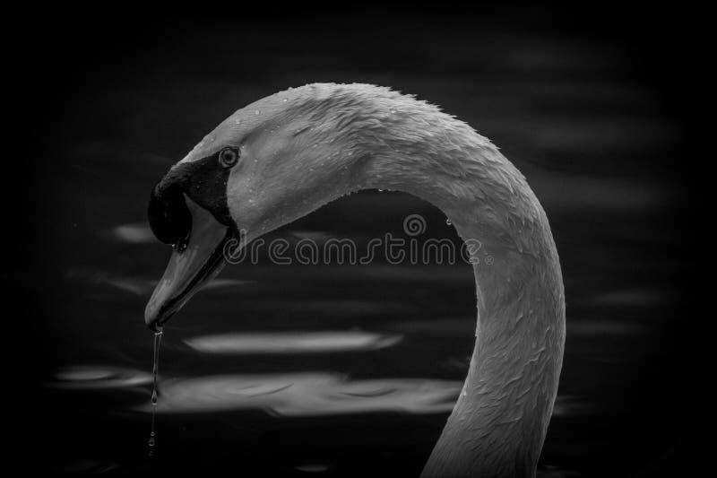 L'eleganza del cigno in bianco e nero immagine stock