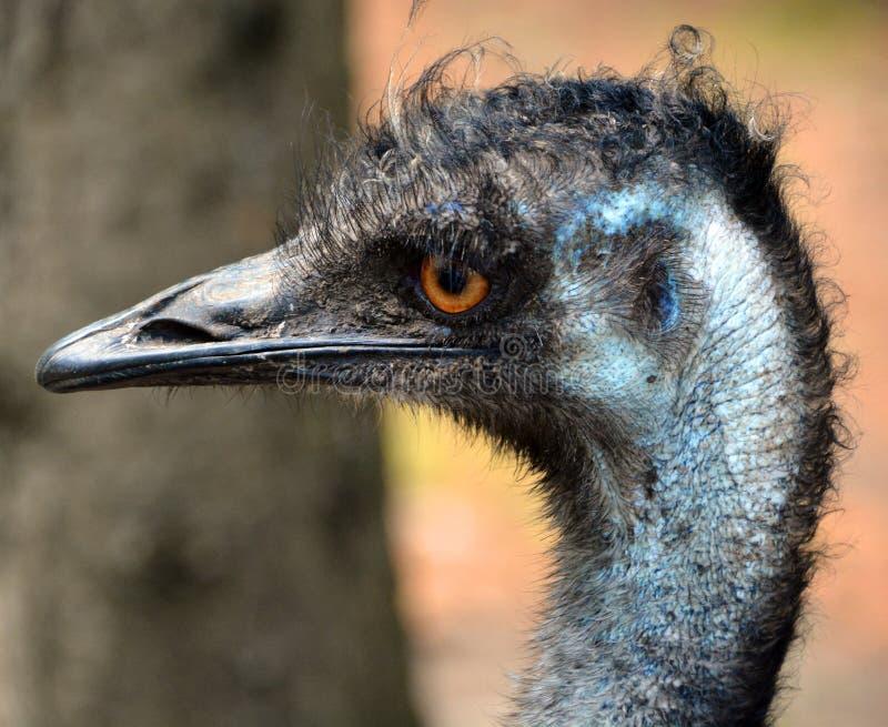 L'emù è il più grande nativo dell'uccello in Australia fotografia stock libera da diritti