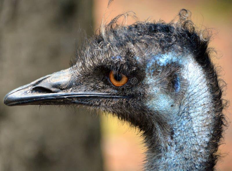 L'emù è il più grande nativo dell'uccello in Australia fotografie stock