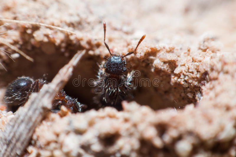 L'emboîtement de la fourmi photographie stock libre de droits