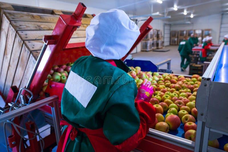 L'employé assortit les pommes mûres fraîches sur la ligne de tri RP images libres de droits