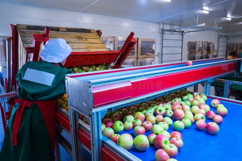 L'employé assortit les pommes mûres fraîches sur la ligne de tri RP image stock
