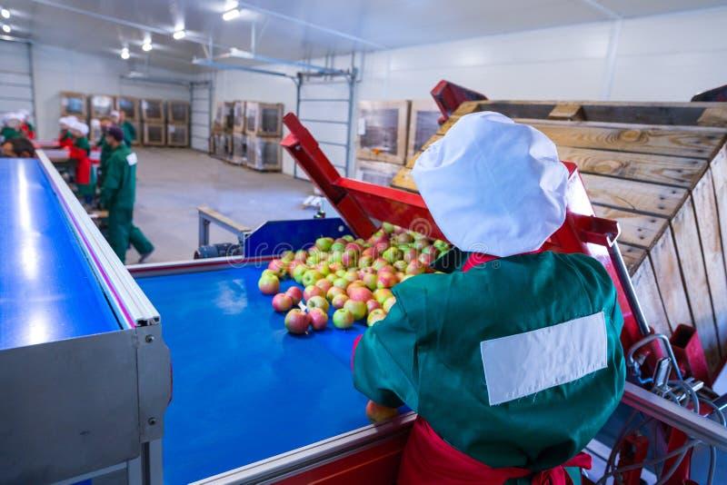 L'employé assortit les pommes mûres fraîches sur la ligne de tri RP photographie stock libre de droits