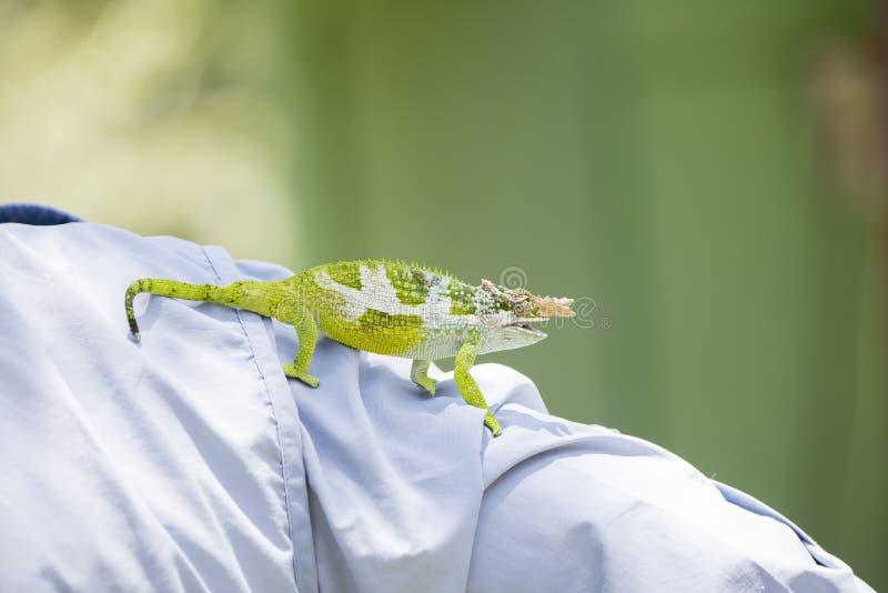 L'endemico & ha minacciato il multituberculata di Kinyongia del camaleonte dai due corni di Usambara in Tanzania immagine stock
