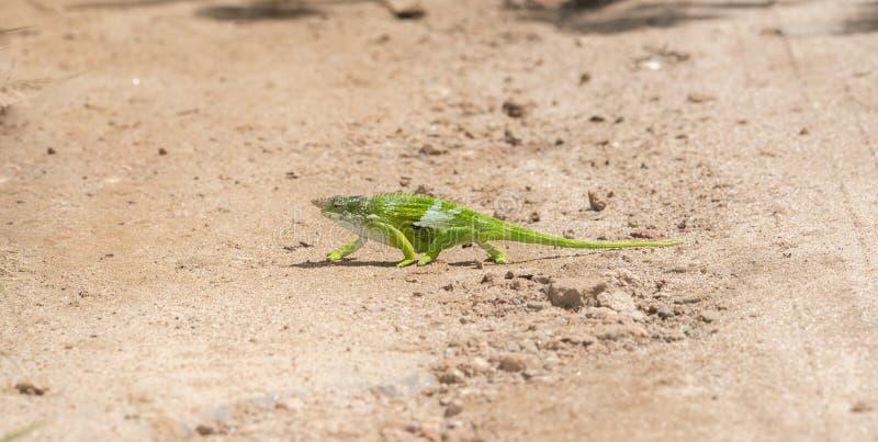 L'endemico & ha minacciato il multituberculata di Kinyongia del camaleonte dai due corni di Usambara in Tanzania fotografia stock libera da diritti