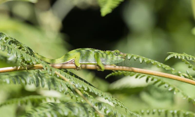 L'endemico & ha minacciato il multituberculata di Kinyongia del camaleonte dai due corni di Usambara in Tanzania immagini stock
