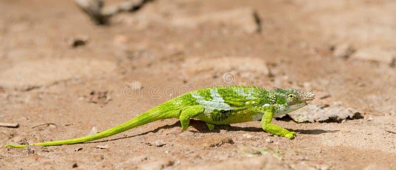 L'endemico & ha minacciato il multituberculata di Kinyongia del camaleonte dai due corni di Usambara in Tanzania immagini stock libere da diritti