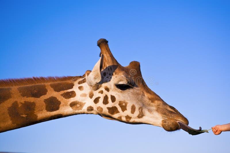 L'enfant alimente une giraffe photographie stock