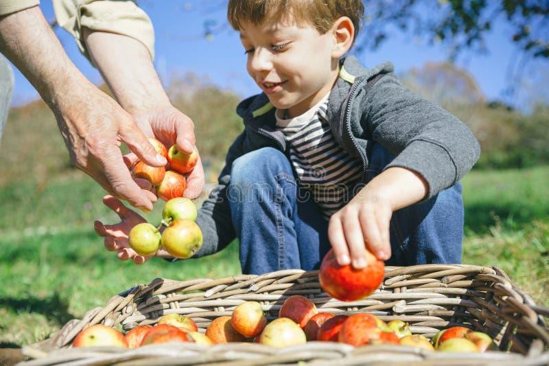 L'enfant et l'homme supérieur remet mettre des pommes dans le panier photographie stock libre de droits