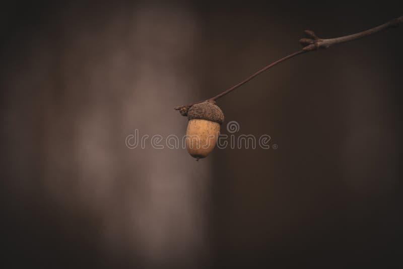 L ensam liten höst fattar med ekollonen på en mörk och ledsen bakgrund arkivfoto