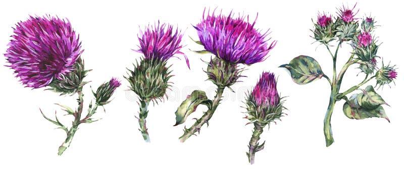 L'ensemble d'aquarelle de cru de chardon, fleurs sauvages, herbes de pré, laisse des branches illustration de vecteur