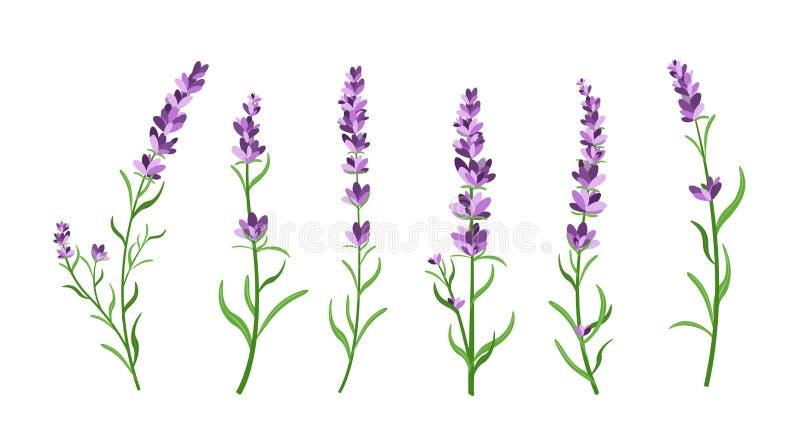 L'ensemble d'illustration de vecteur de lavande fleurit des éléments Les illustrations botaniques de la lavande s'embranche dans  illustration de vecteur