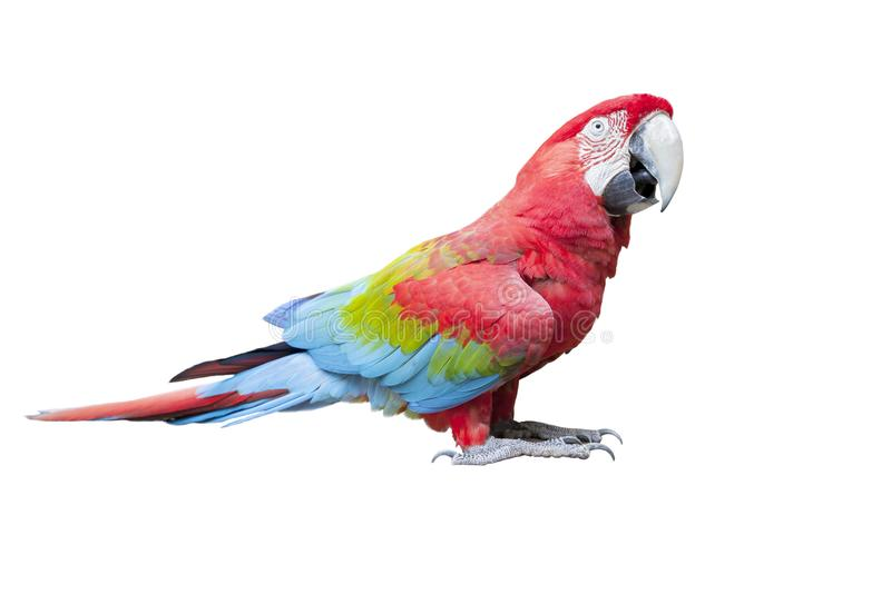 L'ente completo di vista laterale di color scarlatto, uccello rosso dell'ara ha isolato le sedere bianche fotografia stock libera da diritti