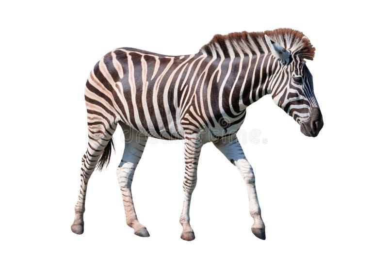 L'ente completo di vista laterale della condizione africana della zebra ha isolato il BAC bianco immagini stock libere da diritti