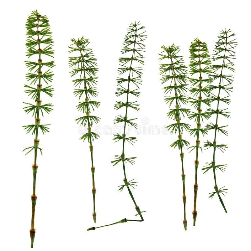 L'equiseto asciutto della foglia di verde di caduta ha isolato le foglie urgenti sulla b bianca immagine stock libera da diritti