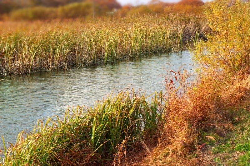 L'erba asciutta di autunno dell'insegna della sponda del fiume naturale del paesaggio ricopre con canne il fondo vago del fuoco s fotografia stock libera da diritti