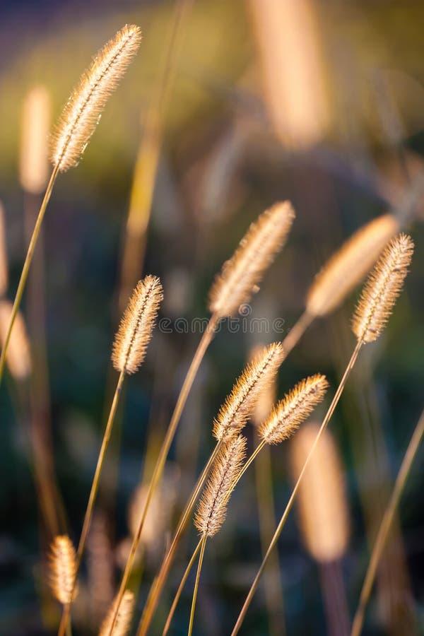 L'erba dorata si è illuminata dal sole fotografia stock libera da diritti