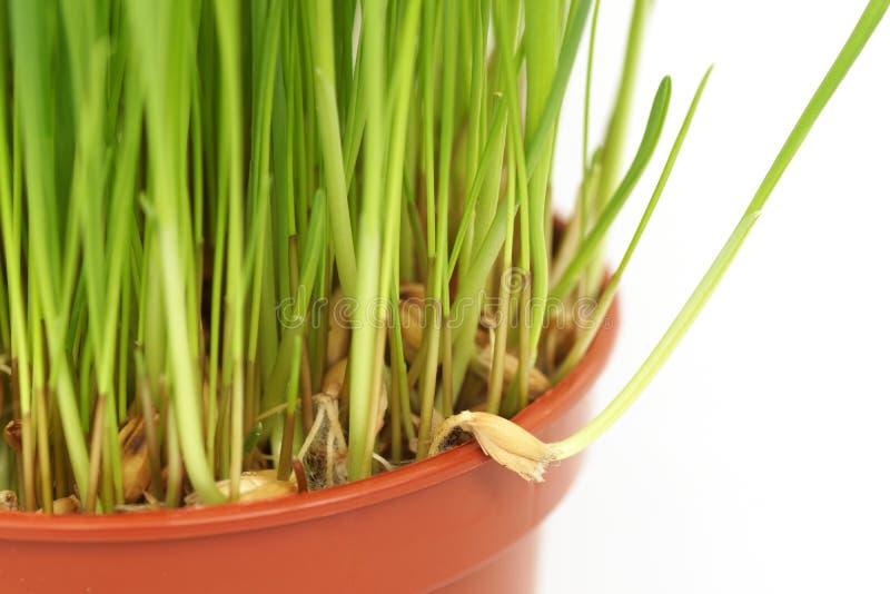 L'erba si sviluppa in un vaso Primo piano fotografia stock