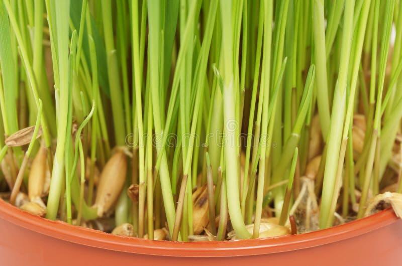 L'erba si sviluppa in un vaso Primo piano immagine stock