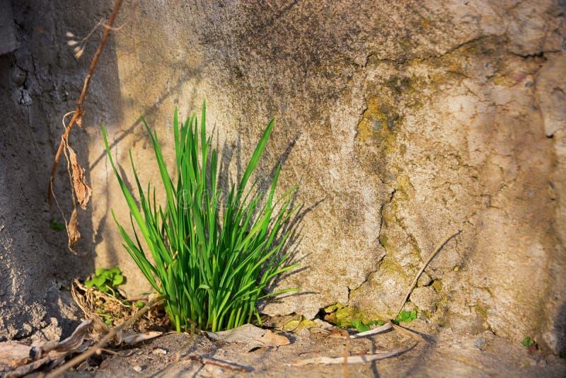 L'erba verde cresce attraverso la crepa in vecchia parete di pietra fotografia stock