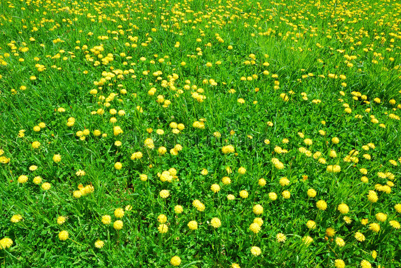 L'erba verde ed il dente di leone giallo fiorisce in primavera fotografia stock