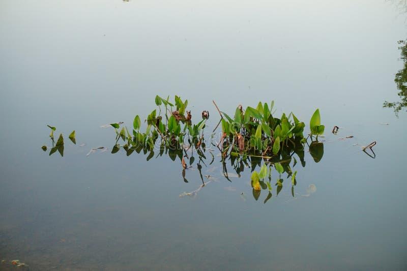 L'erbaccia si sviluppa in acqua immagini stock libere da diritti