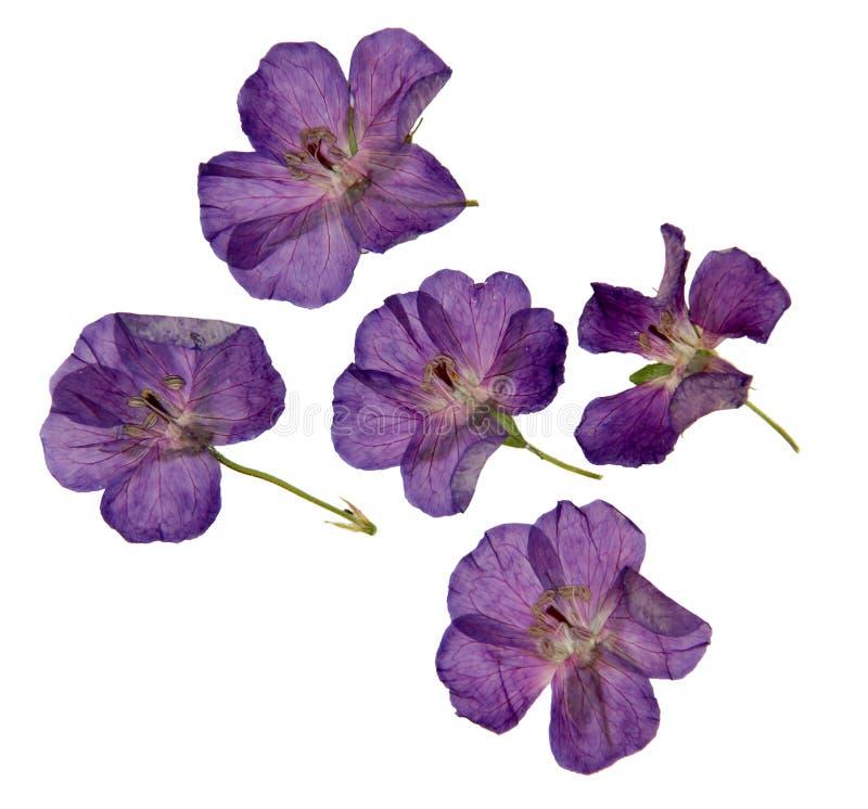 L'erbario della porpora ha asciugato e premuto i fiori viola isolati fotografia stock libera da diritti