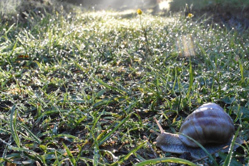L'escargot dans l'herbe humide et couverte de rosée de matin photo libre de droits