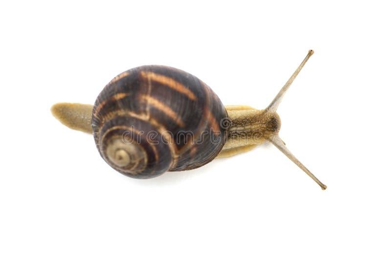 L'escargot de jardin devant le fond blanc Fin d'escargot contre blanc, vue d'en haut photos libres de droits