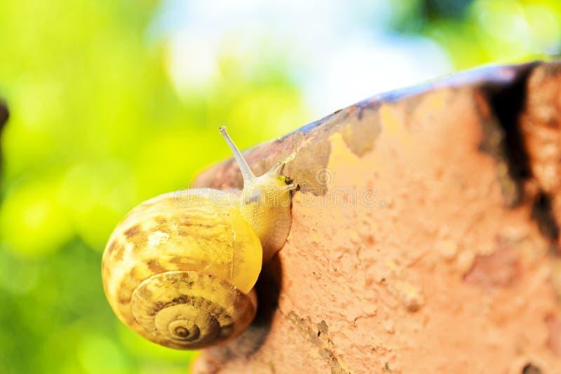 L'escargot rampe après pluie photo libre de droits