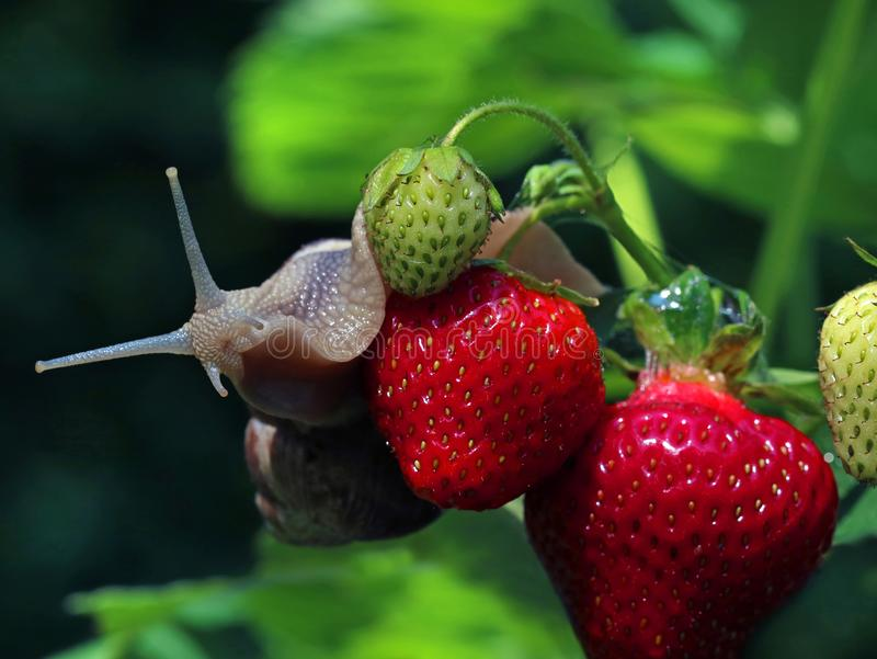 L'escargot rampe sur les fraises fraîches, lingots dans votre fin de jardin  photos stock
